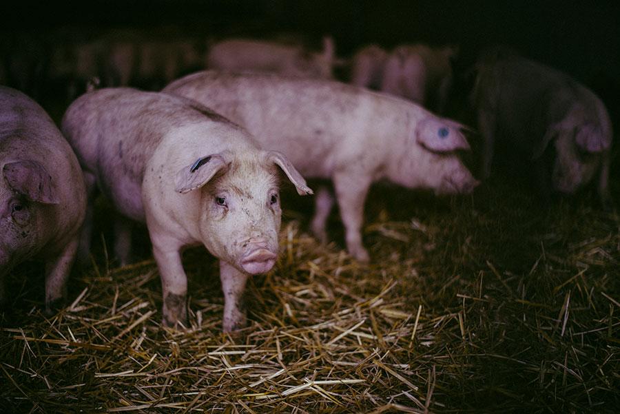 Duroc Schweinezucht Mühlenhof