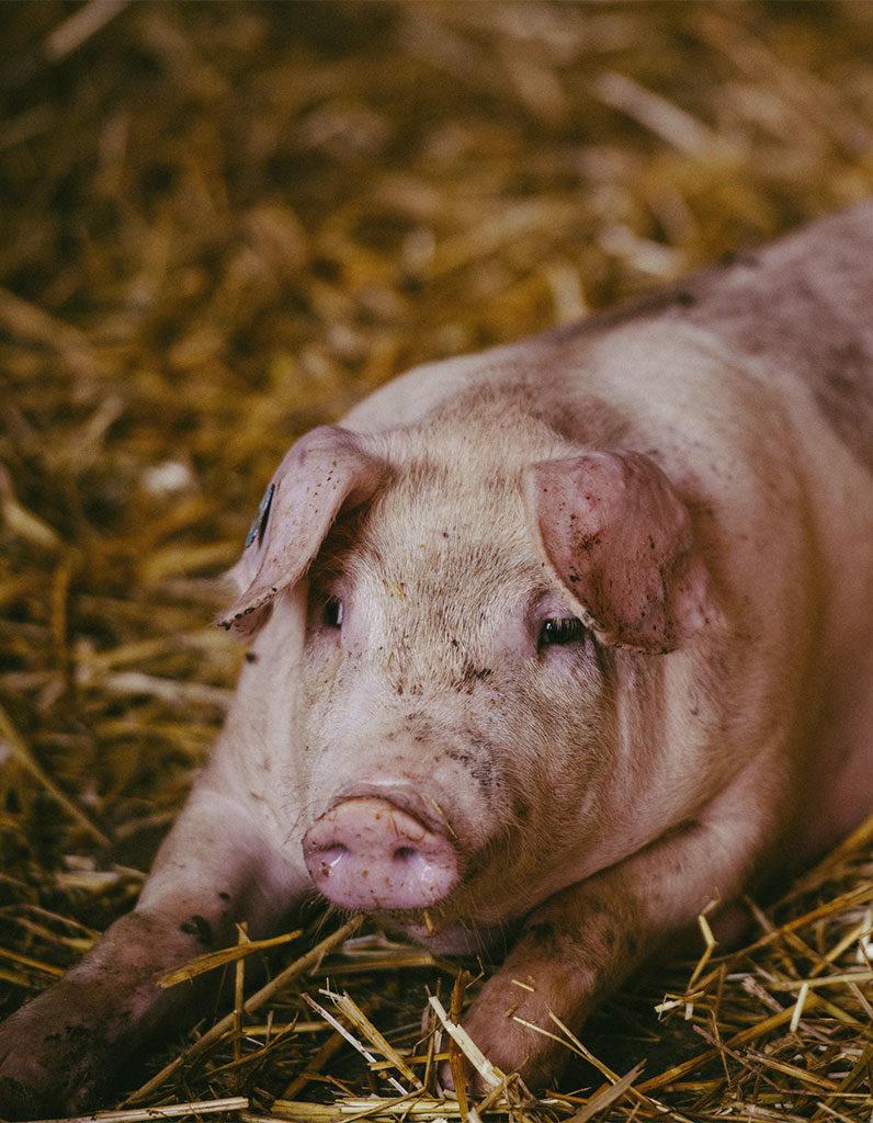 Schweinezucht am Mühlenhof